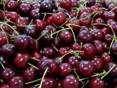 La ciliegia Durona di Chiampo