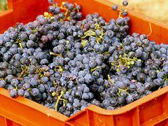 Il vino Clinto di Villaverla