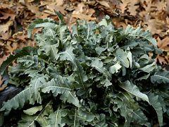 13-22 gennaio 2017: torna la Sagra del Broccolo Fiolaro  de.co. di Creazzo