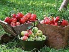 Dolci, succose e nutrienti: arriva il tempo delle mele